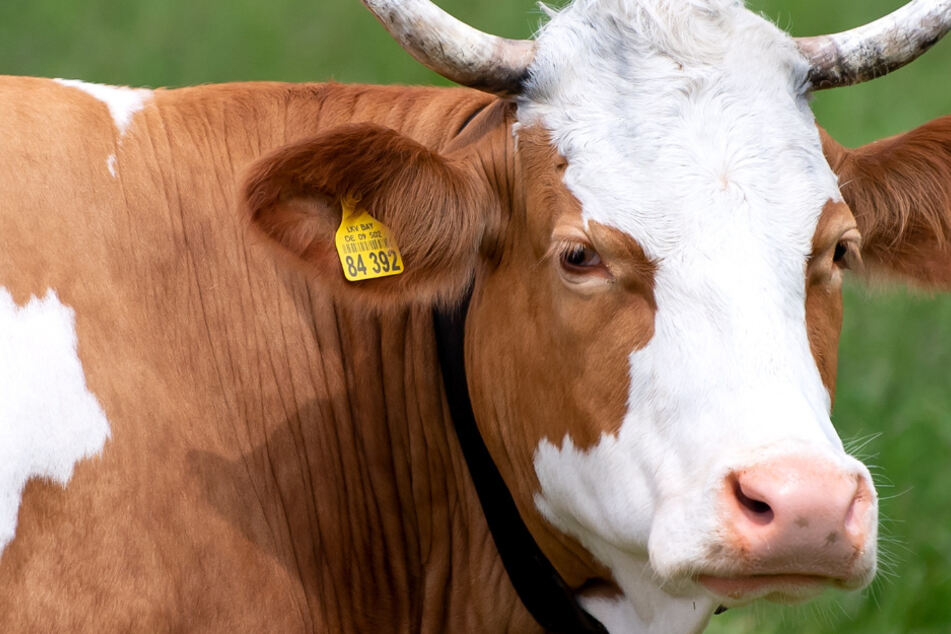 Polizist erschießt Kuh: Besitzer bekommt diese stattliche Summe!