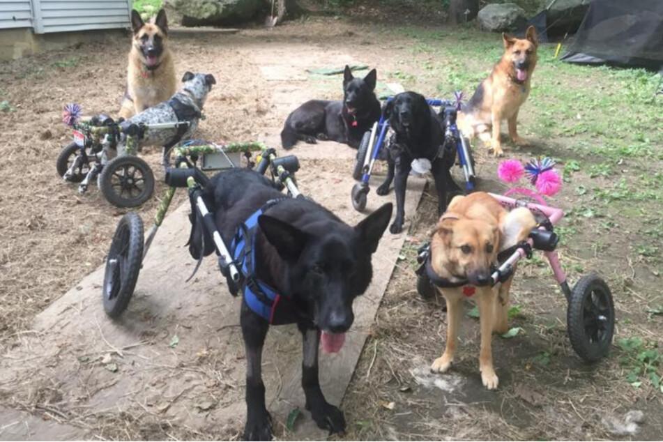 Diese Hunde gehören allesamt zu Traceys Rudel.