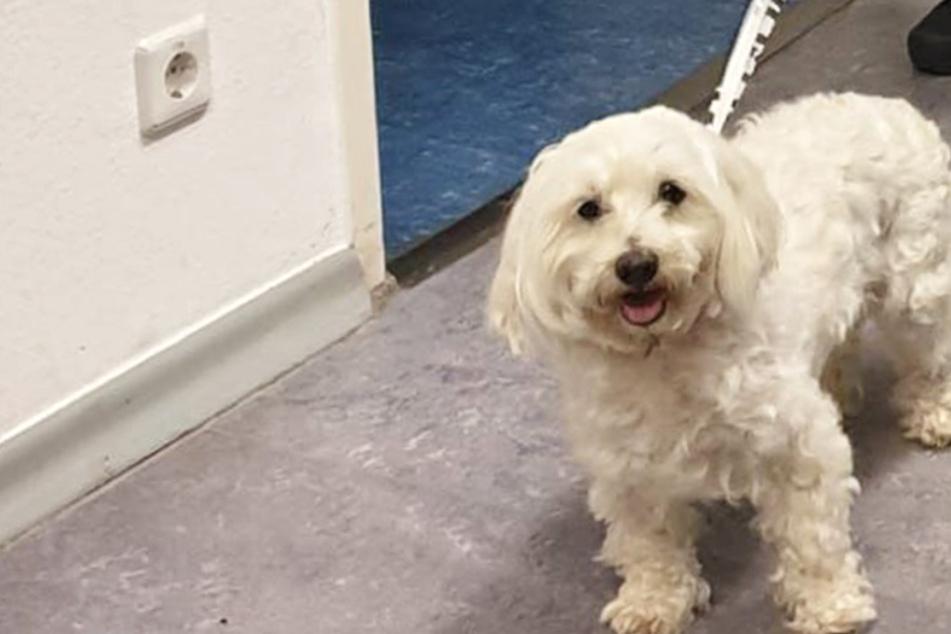 """Hunde-Glück: """"Tashi"""" ging verloren, so wurde der kleine Malteser gerettet"""