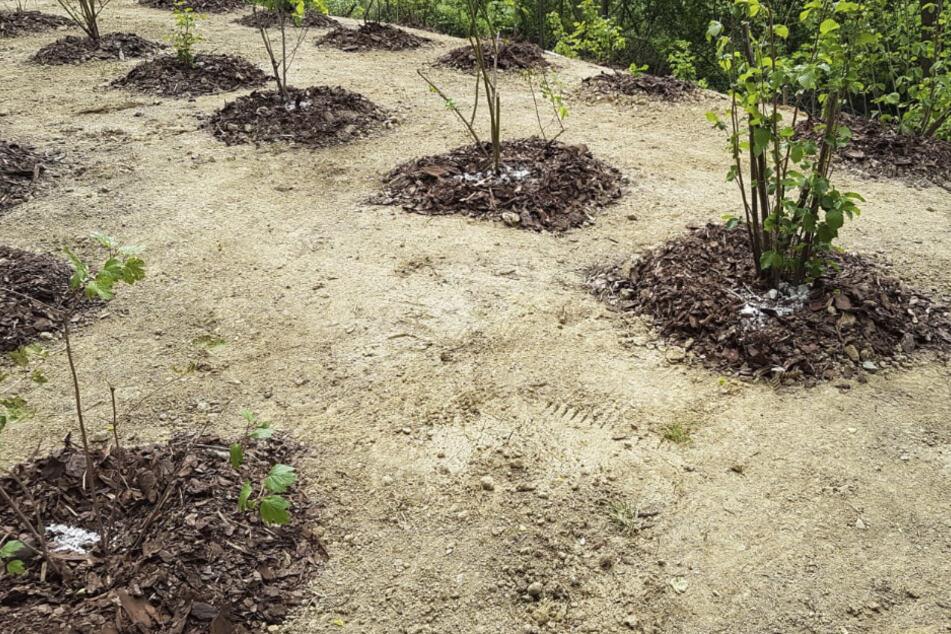 Ein Baumfrevler versuchte, jeden einzelnen Baum zu vergiften.