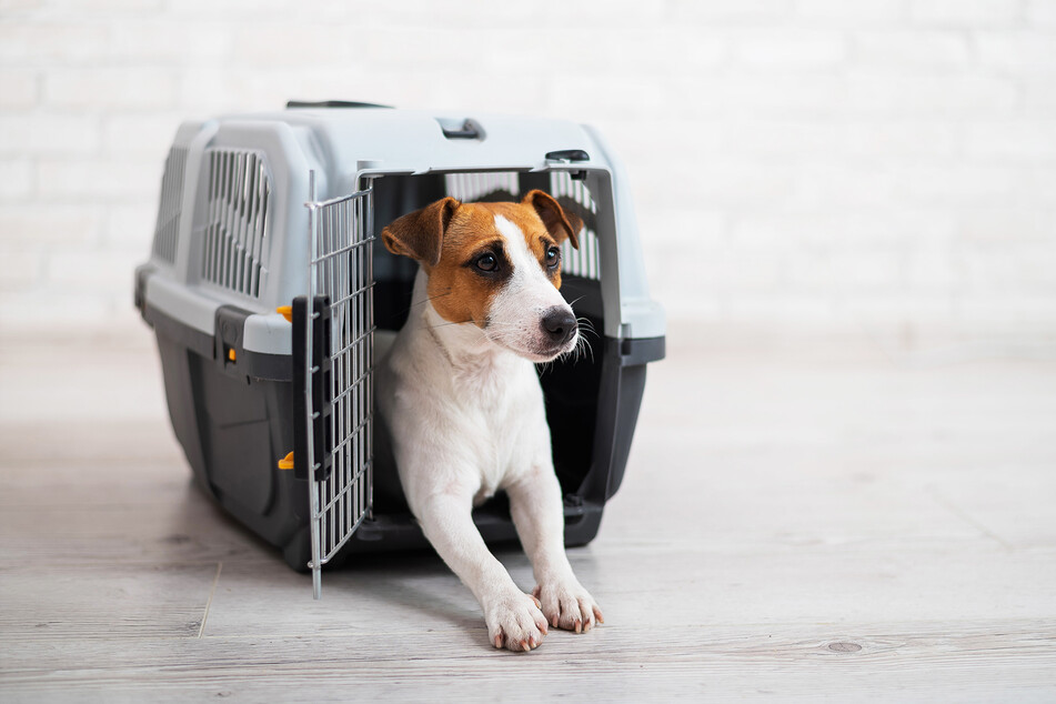 A Jack Russell Terrier is awaiting his journey (stock image).