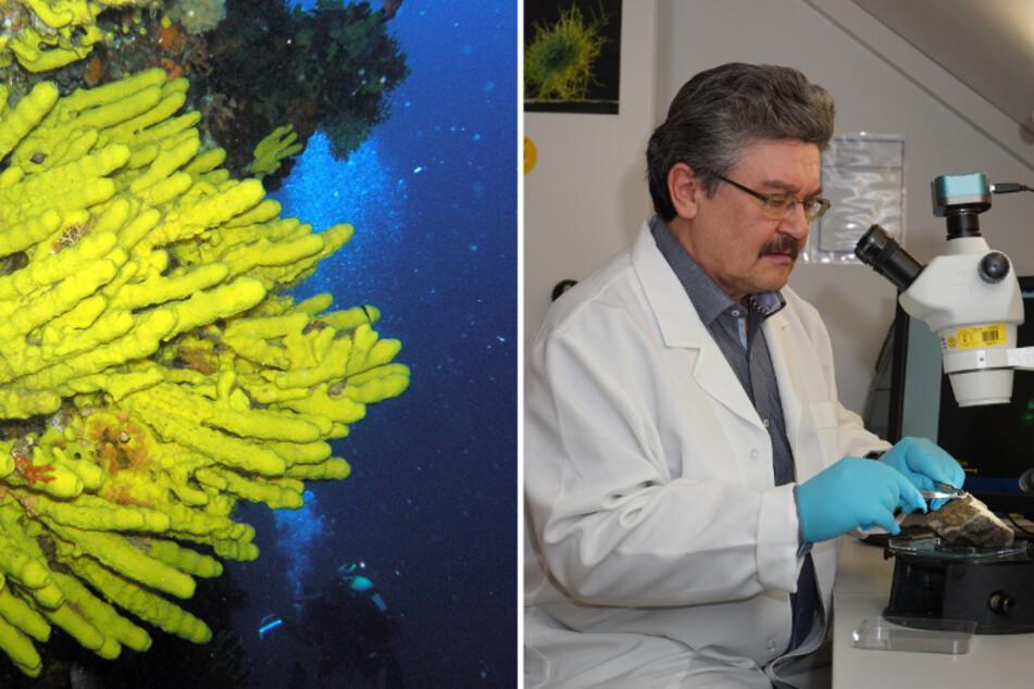 Mittel gegen Coronavirus? Freiberger Forscher setzen auf Meeresschwamm