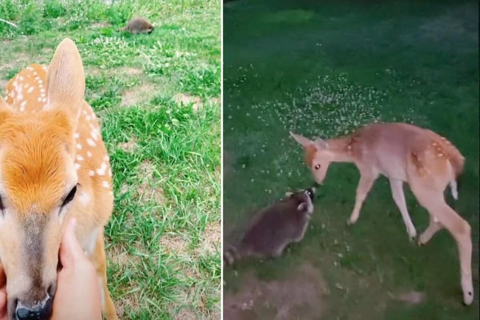 Weitere Videos zeigen die beiden tierischen Stars zutraulich miteinander.