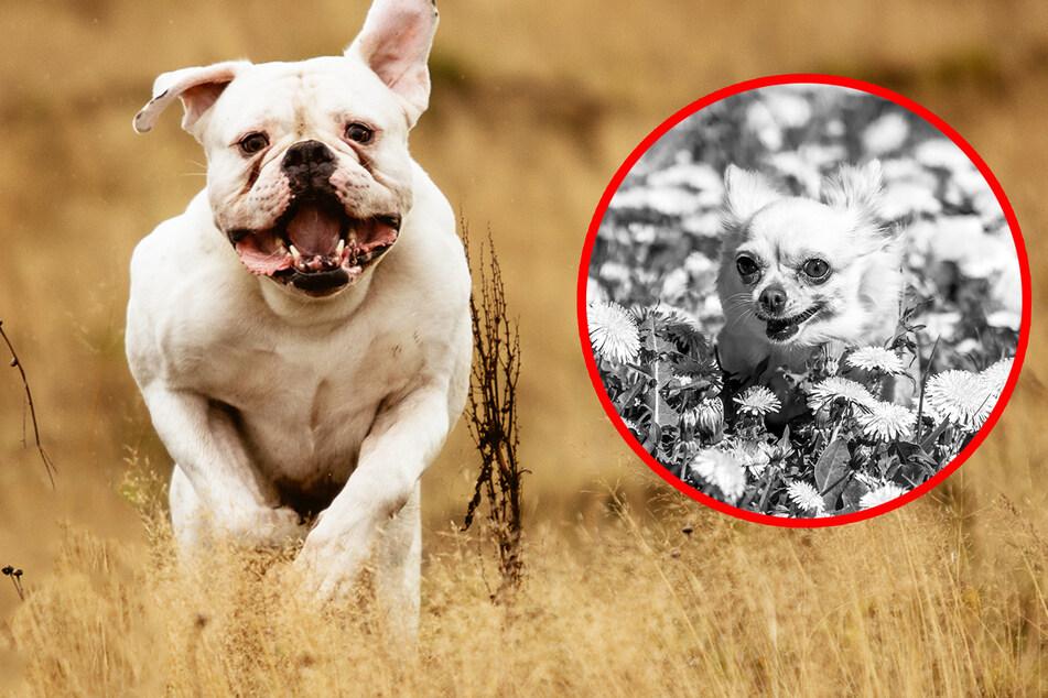 Berserker-Hund tötet Chihuahua und verletzt Frau