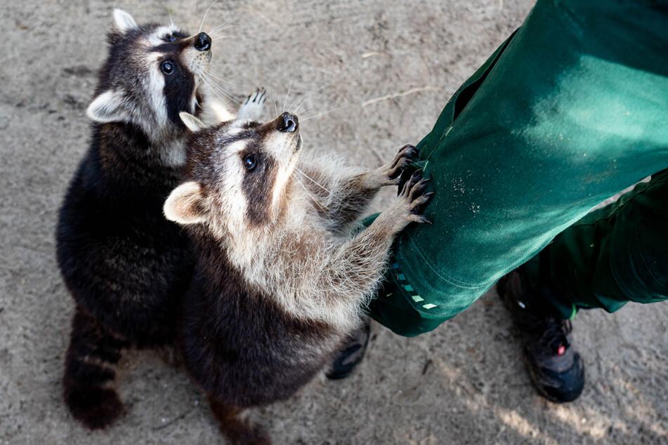 Waschbären sehen niedlich aus, können aber schnell kratzen und beißen.