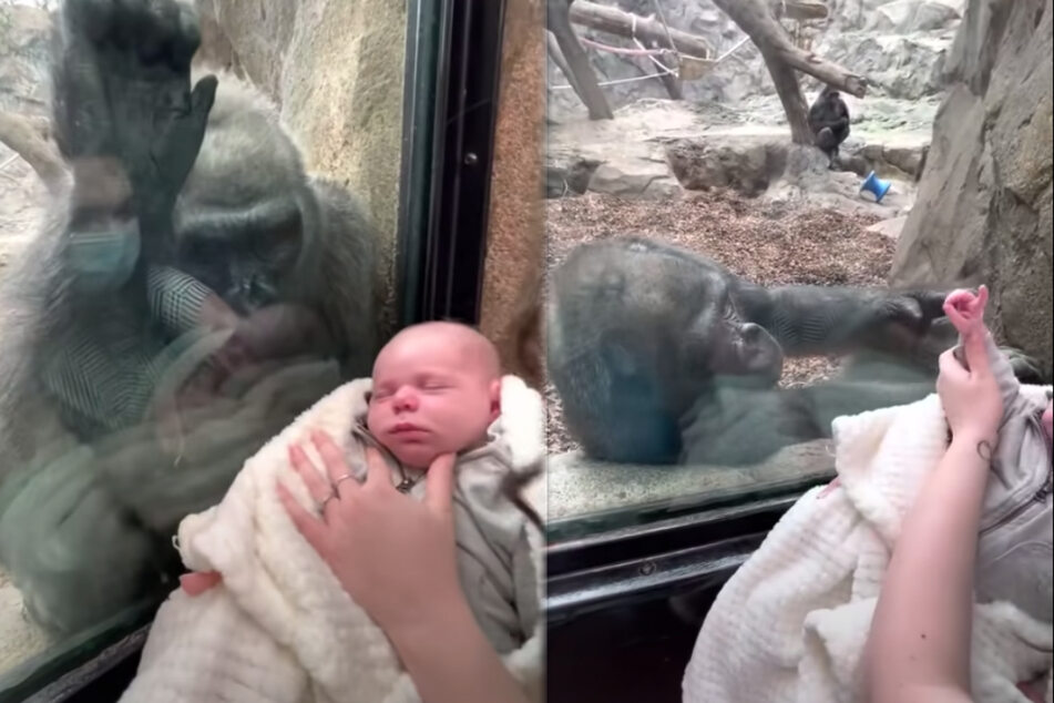Gorilla lady Kiki is thrilled with Baby Canyon.