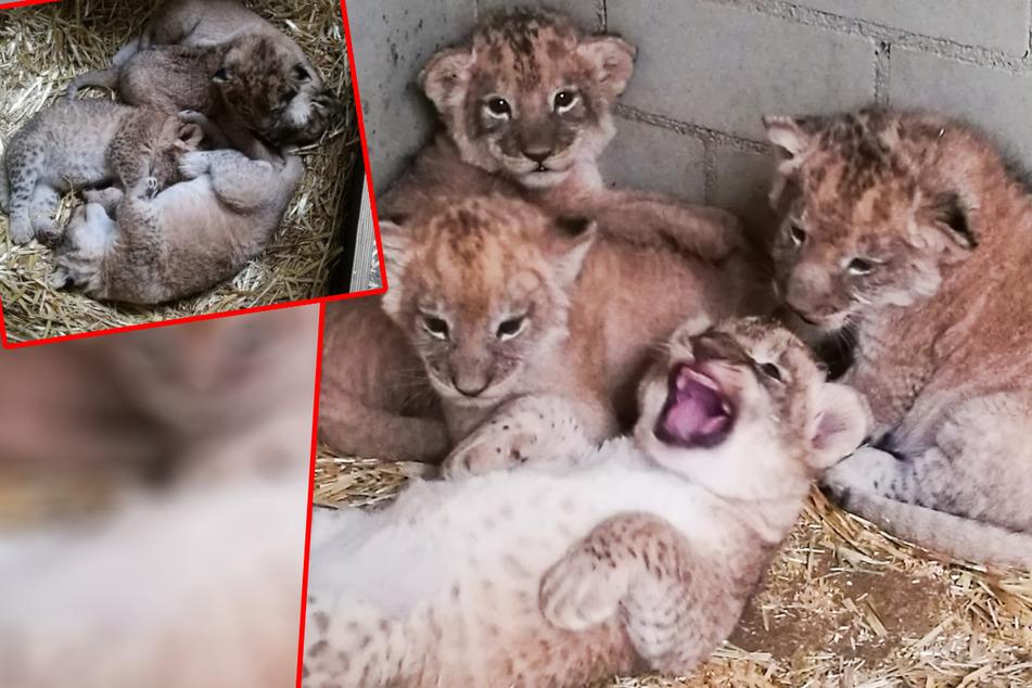 Frohe Kunde aus dem Leipziger Zoo: Es gibt wieder Nachwuchs bei den Löwen!