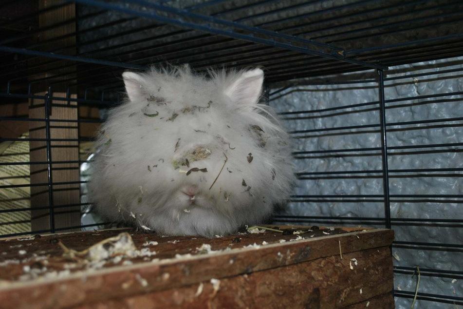 Völlig verfilzt und zugewachsen: So fanden Tierheim-Mitarbeiter das kleine Kaninchen.