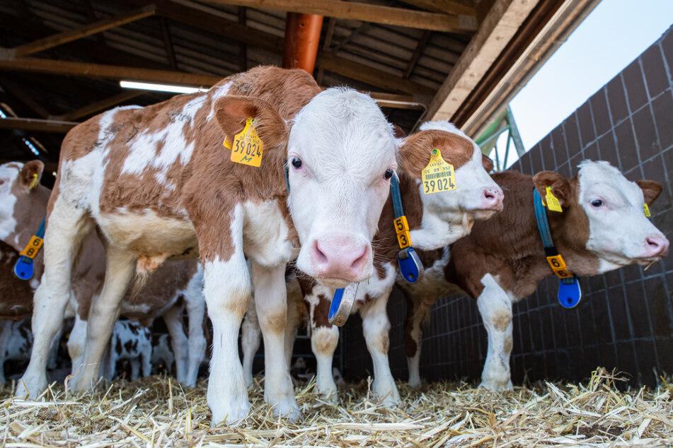 40 Kälber an Jugendlichen verkauft: Viehhändler seit heute vor Gericht