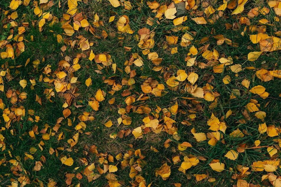 Laub und Grasreste sollten vor dem Wintereinbruch gründlich vom Rasen entfernt werden.