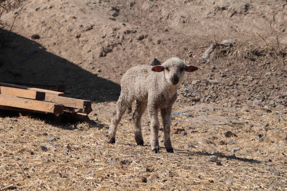 Auch dieses Lämmchen gehört zu den vom Veterinäramt beschlagnahmten Tieren.