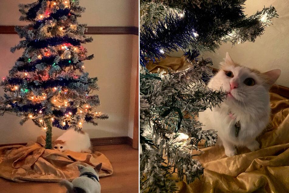 Kaum etwas anderes hat Ginger so lieb wie den Weihnachtsbaum.