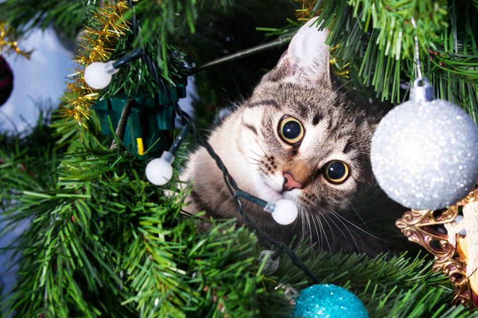 Große Gefahr für Katzen an Weihnachten! Das müssen Tierhalter jetzt wissen
