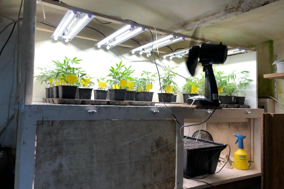 Cannabisplantage aufgedeckt: Polizei nimmt Verdächtige fest