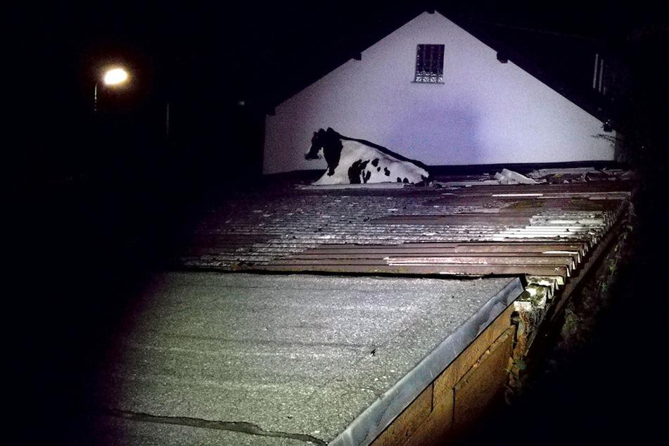 Eine ausgebrochene Kuh ist 2018 in Morsbach in ein Wellblechdach eingebrochen.