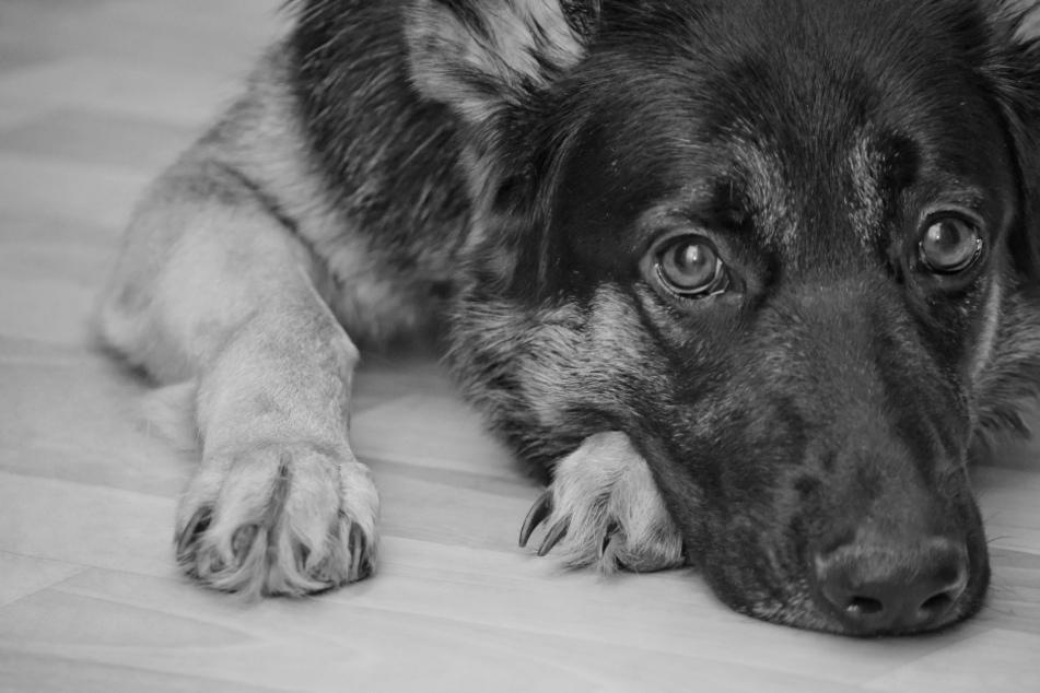 Hund geht es beim Gassigehen immer schlechter, nachts stirbt er: Polizei hat grausamen Verdacht
