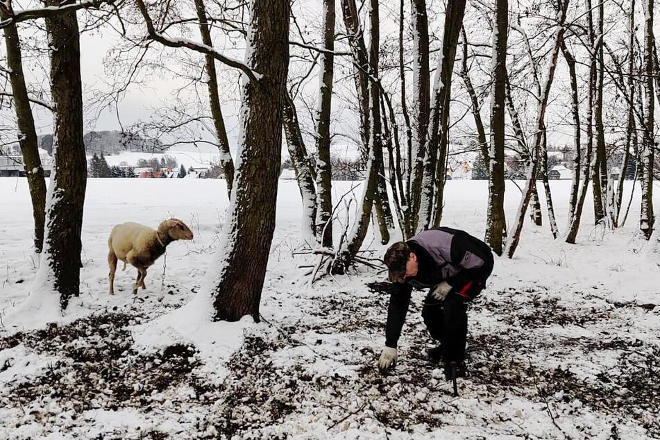 So fanden Tierschützer die armen Schafe im Wald vor.