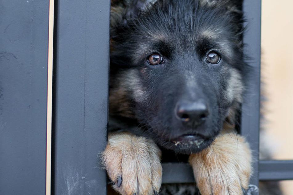 A sad dog staring through a gate.