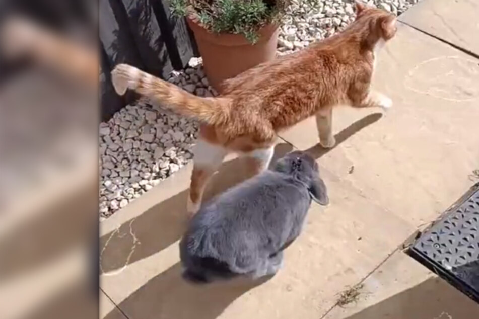 Hitching a ride: Hilarious meet-up of a cat and a rowdy rabbit wows millions on TikTok