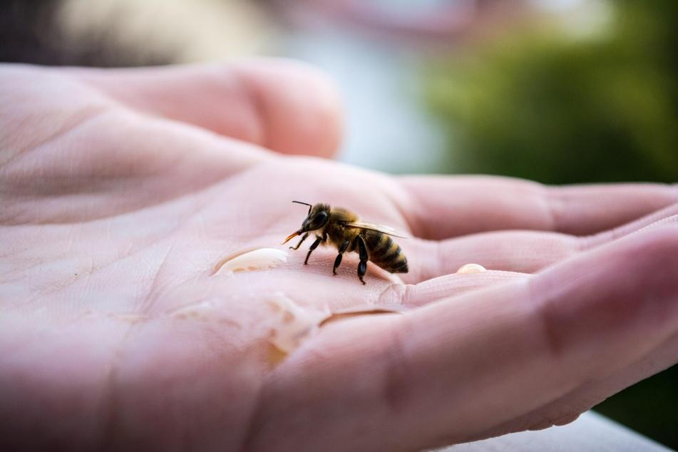 Diese Biene freut sich über eine kleine Erfrischung, um schon bald wieder weiterzufliegen