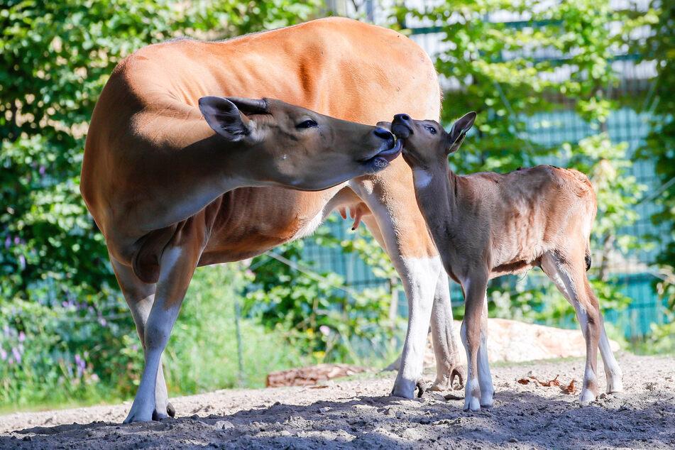 """Mutter """"Wangi"""" kümmert sich liebevoll um Banteng-Kälbchen """"Nyoman""""."""