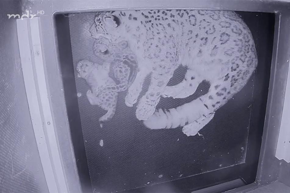 In der Wurfhöhle der Schneeleoparden haben die zwei Jungen seit wenigen Tagen die Äuglein geöffnet und kabbeln auch schon miteinander.