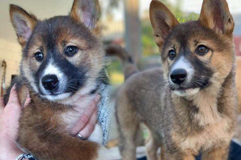 Bauer findet Dingo-Baby und ahnt nicht, wie besonders es ist