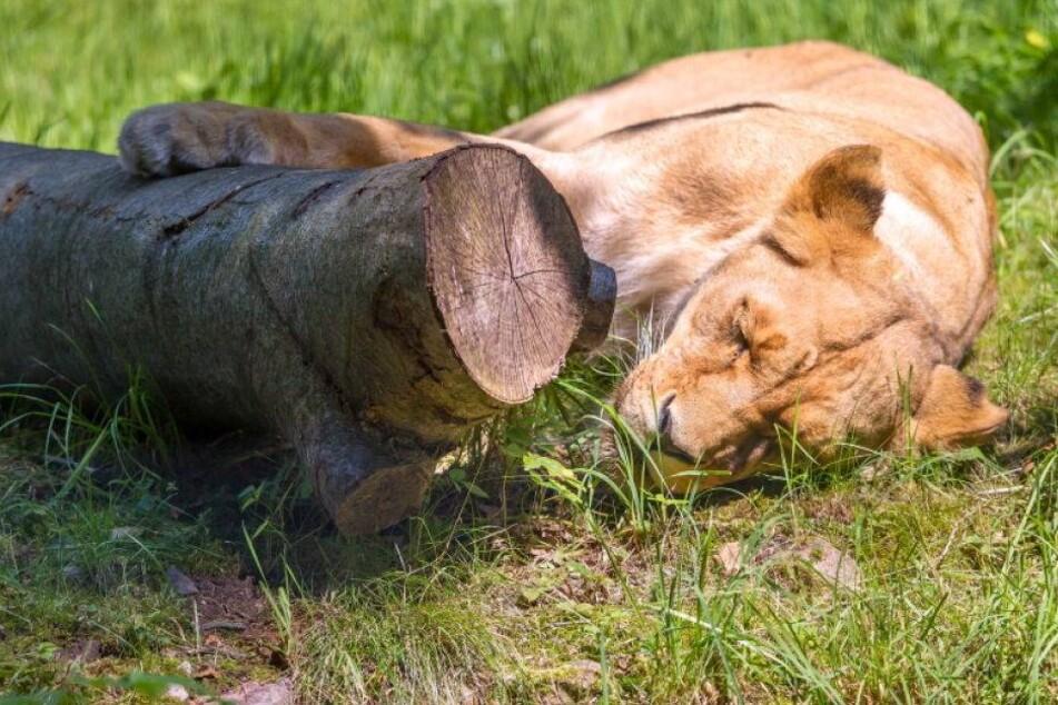 Drama im Tierpark: Löwin Kimba ist tot!