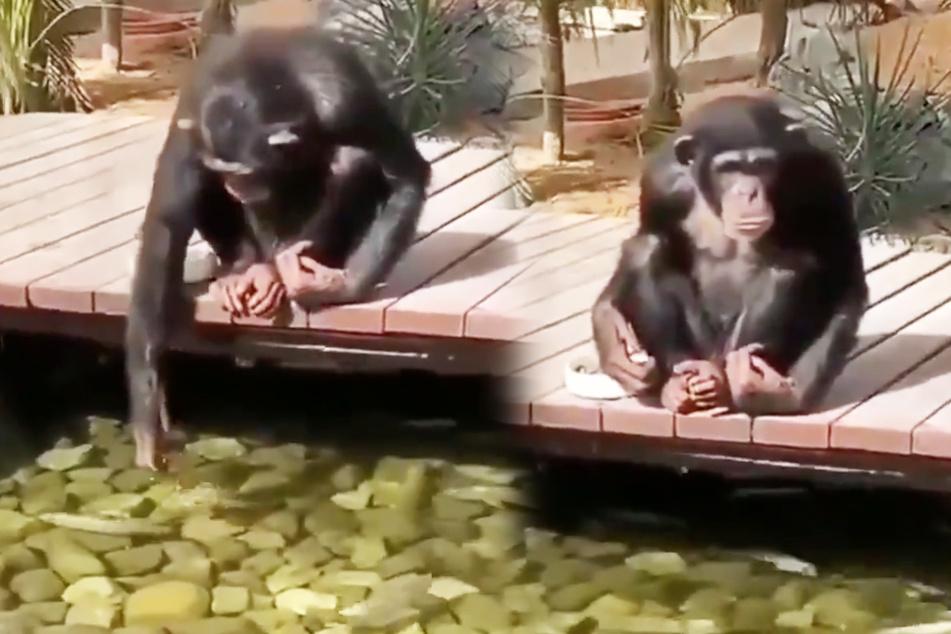 Wie süß: Schimpanse füttert und beobachtet Fische