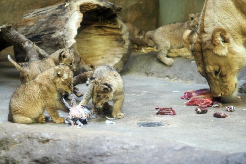 Am Montag hat Löwen-Mama Kigali zwei ihrer Jungtiere getötet.
