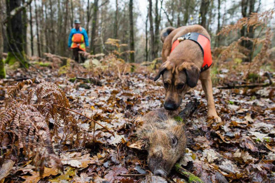 Mischling Otto hat ein Stück Wildschwein aufgespürt, das zum Training ausgelegt wurde. Otto ist ausgebildet, tote Wildschweine aufzuspüren, die auf das Virus untersucht werden sollen.