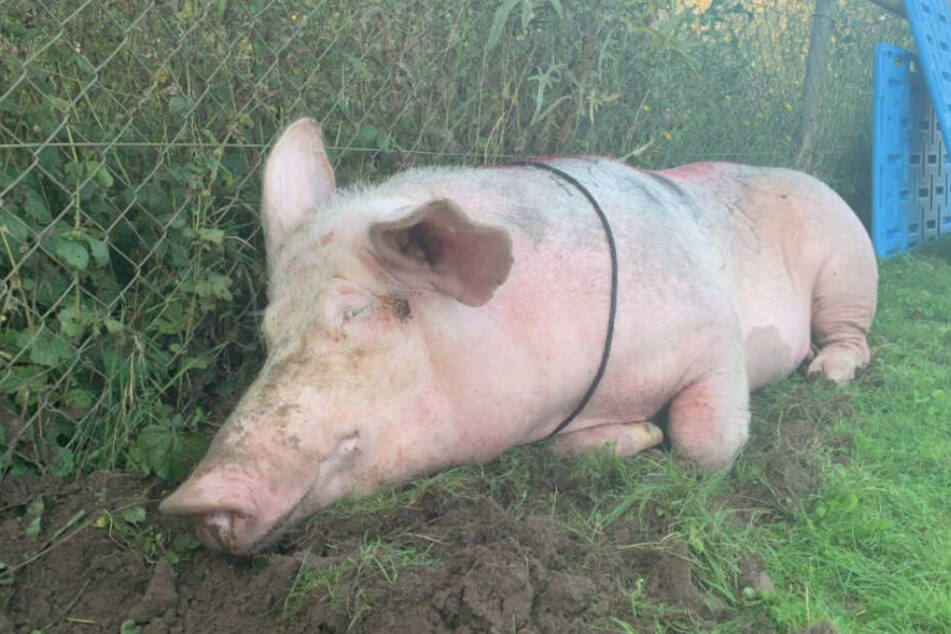 Dieses Bild des völlig erschöpften Schweins hatten die Tierretter gepostet.