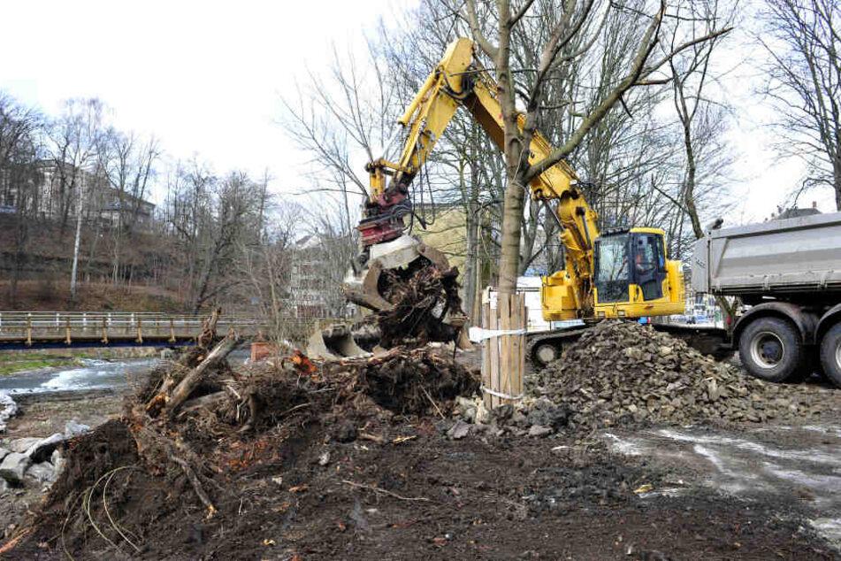 Am Pfortensteg wird für die neue Böschung der Chemnitz um den Baumbestand drumherum gebaggert.