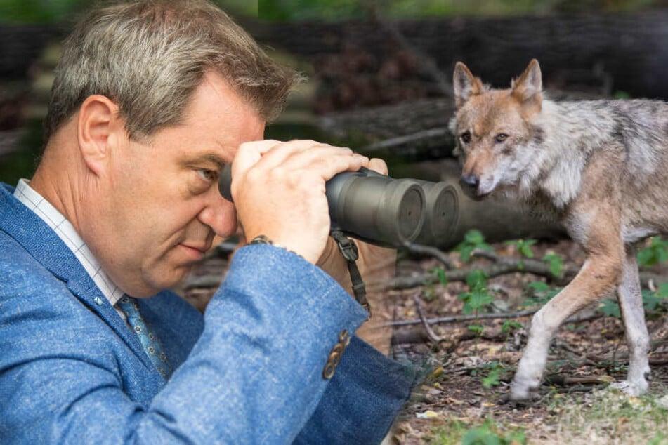 Markus Söder will die Almbauern bei ihrem Wolf-Problem unterstützen.