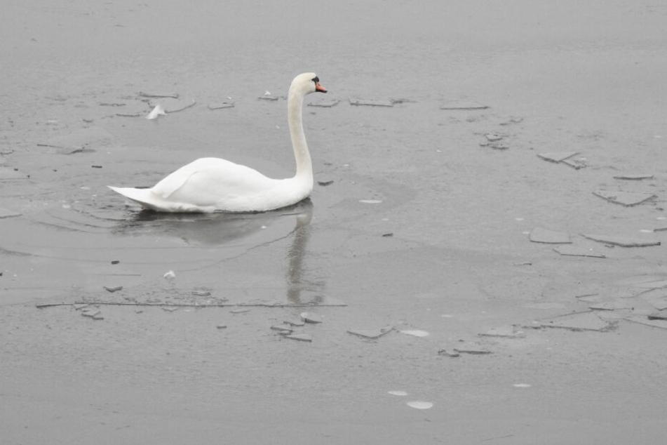 Schwäne hatten sich auf der Alster zwischen die Eisschollen begeben.
