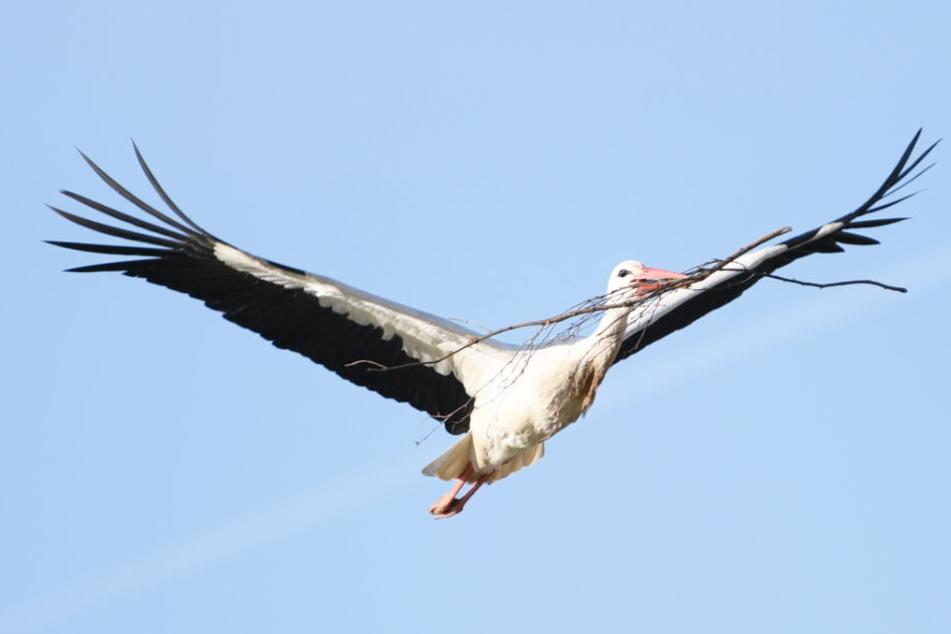 Ein Storch fliegt mit einem Ast im Schnabel zu seinem Nest.