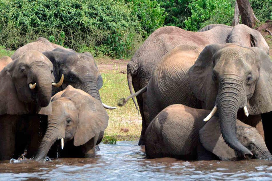 Schock für Tierschützer! Hier dürfen Elefanten wieder legal gejagt werden