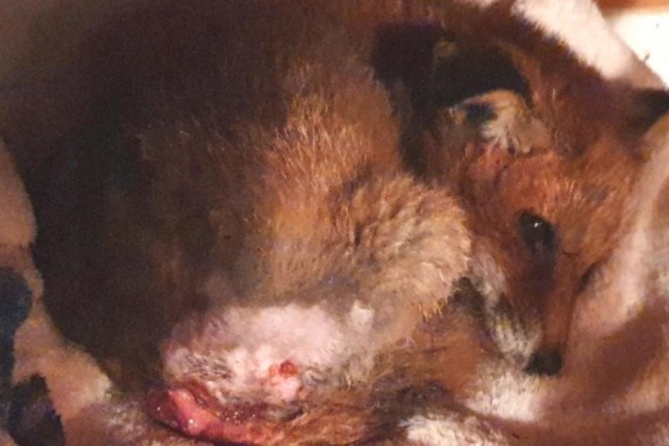 Fuchsbaby Macchiato kämpft ums Überleben.