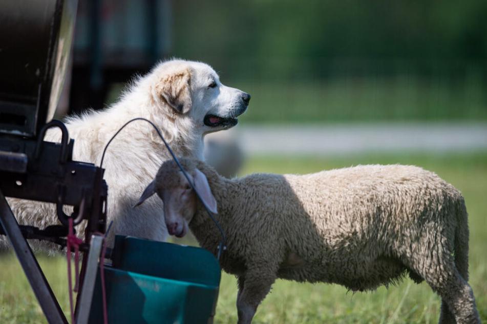 Herdenschutzhunde werden zur Abwehr verschiedenster Gefahren auf der Weide eingesetzt und würden in einer Notsituation die Schafe mit ihrem Leben verteidigen.
