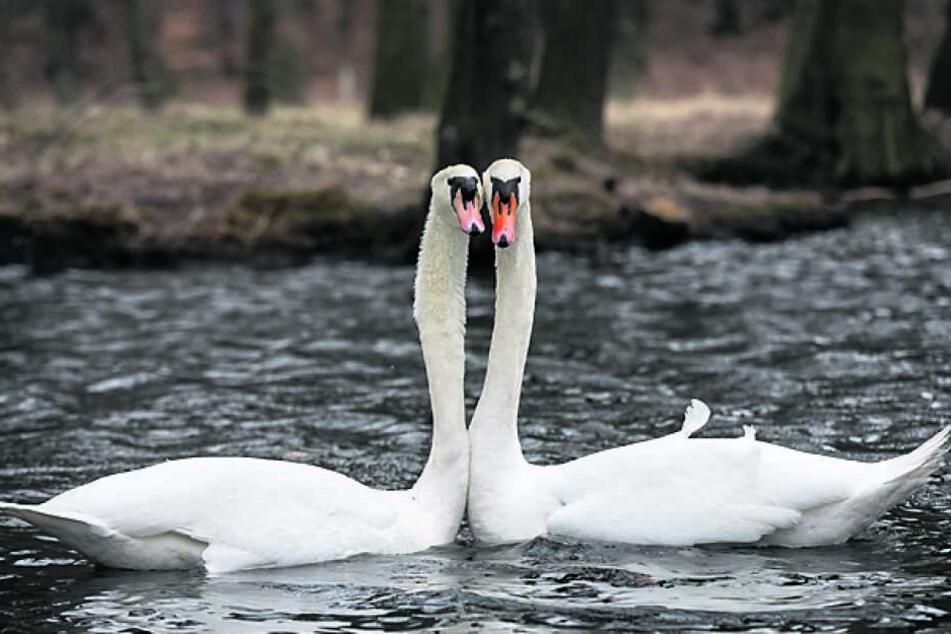 Glücklich drehten sie gemeinsam ihre Runden auf dem Teich, doch nun verließ Franz seine Angebetete aus heiterem Himmel.