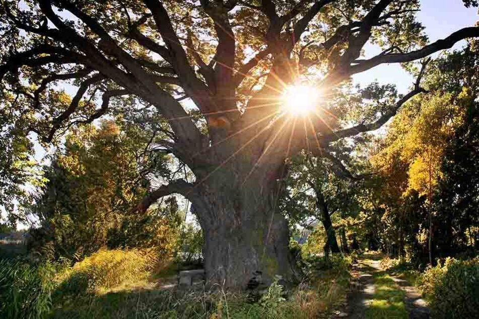 Der älteste Baum der Oberlausitz gibt jetzt seine Gene weiter.