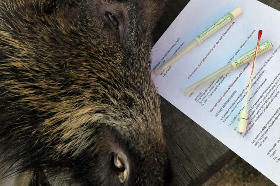 Drei tote Wildschweine am Seeufer entdeckt: Schweinepest-Ausbruch in Brandenburg?