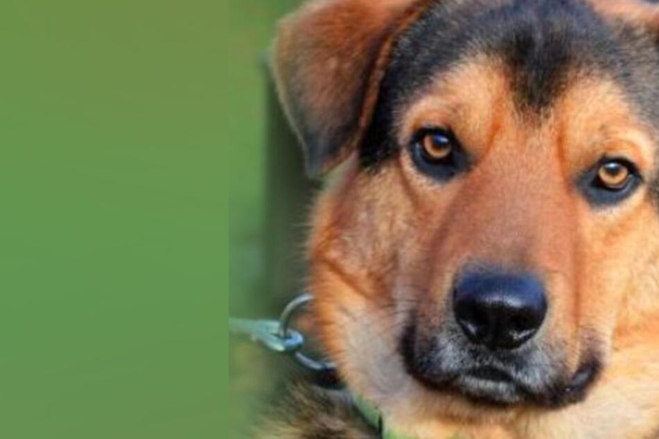 Dieser Hund braucht nach Bandscheibenvorfall dringend ein neues Zuhause