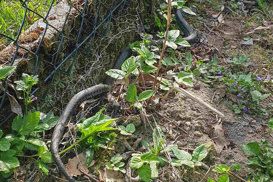 Die Schlange wurde von der Feuerwehr befreit.
