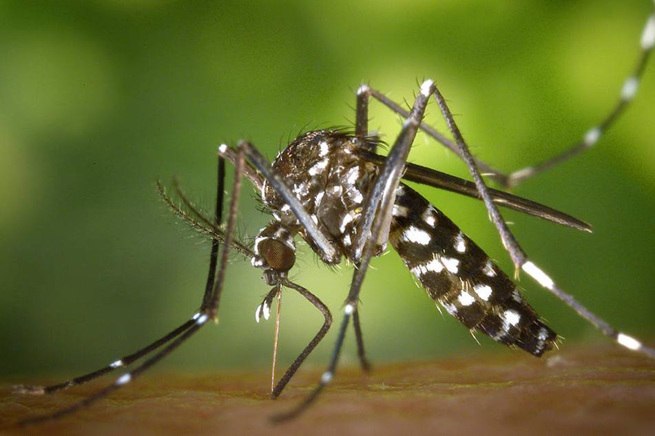 Eine weibliche Asiatische Tigermücke. Auch diese Mücke kann Viren übertragen.