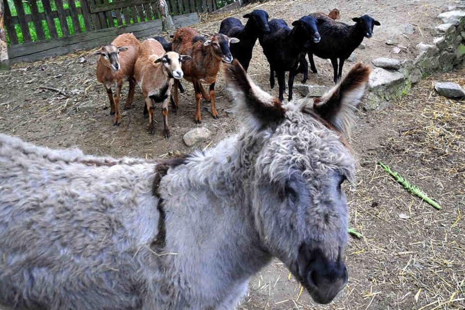 Da schaut der Meister Isegrim - mit einem Esel sollte er sich besser nicht anlegen.