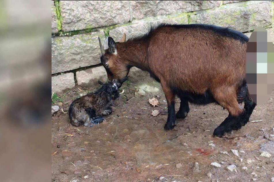Ziegen-Mama Olga leckt ihr Baby trocken, doch es ist noch nicht vorbei
