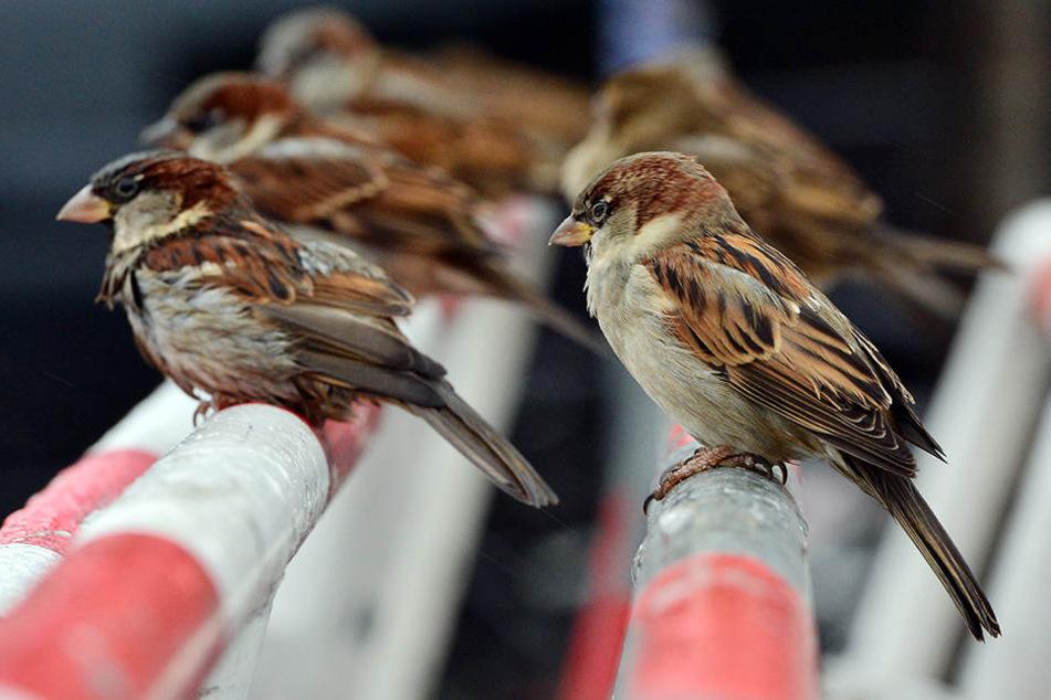 Der Spatz ist ein sehr geselliger Vogel. Er mag es, wenn viele Artgenossen um ihn herum sind.
