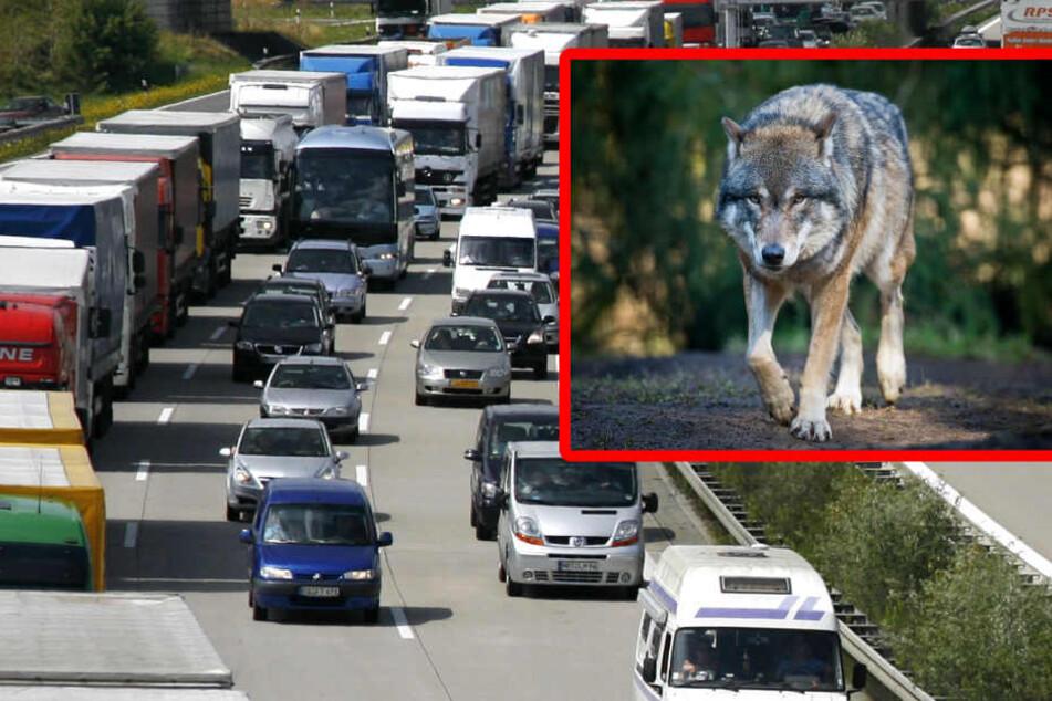Noch ist nicht eindeutig geklärt, ob es sich bei dem Tier tatsächlich um einen Wolf handelt. (Bildmontage)