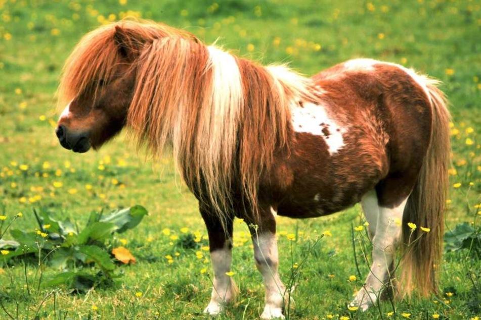 Unfassbar! Tierhasser schneidet Shetland Ponys den Schweif ab